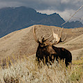 A Really Big Moose by Dennis Blum