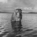 A Rhesus Monkey Sitting In Water Up To H by Hansel Mieth