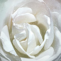A Rose Is A Rose  by Cindy Greenstein