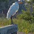 A Ruffled Snowy Egret by Bruce Gourley