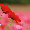 A Tale Of  Two Poppies by Jean Noren