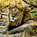 A Wounded Lion by Kay Brewer