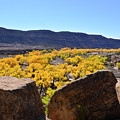 Gorgeous View Of Golden Cottonwood Trees In Canyon by Brenda Landdeck
