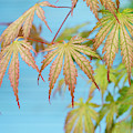 Acer Palmatum Ariadne Foliage by Tim Gainey