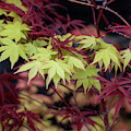 Acer Palmatum Summer Gold Leaves by Tim Gainey