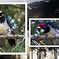 Acorn Woodpecker by Linda Vanoudenhaegen