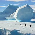 Adelie Penguins On Iceberg, Antarctic by Eastcott Momatiuk