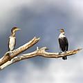 Adult And Juvenile Cormorants At Lake Naivasha by Jane Rix