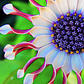 African Daisy by TK Goforth