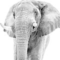 African Elephant Portait In Monochrome by Mark Hunter