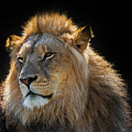 African Lion by Arterra Picture Library