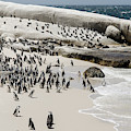 African Penguins At Boulders Beach. by Rob Huntley