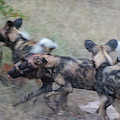 African Wild Dogs Running by Mark Hunter