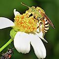 Agapostemon Virescens - Sweat Bee by Larah McElroy