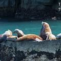 Alaska Steller Sea Lions by Scott Slone