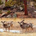 Alert Herd Of Colorado Deer by Steve Krull