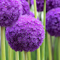 Allium Ambassador Flowers by Tim Gainey