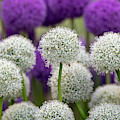 Allium Display by Tim Gainey