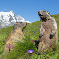 Alpine Marmot Pair by Arterra Picture Library