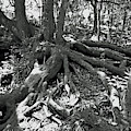 Amazing Roots Black And White by D Hackett