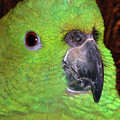 Amazon Parrot by Debbie Stahre