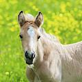 Amber Foal Looking Forward by Scott Lyons