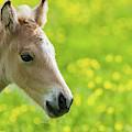 Amber Foal Portrait by Scott Lyons