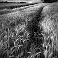 Amber Waves Of Grain In Black And White by Debra and Dave Vanderlaan
