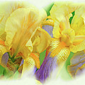 Amenti Yellow Iris Flowers by Regina Geoghan