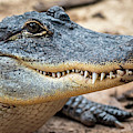American Alligator by Arterra Picture Library