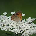 American Copper On Queen Anne's Lace by Stacey Whetstone