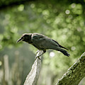 American Crow by Joe Leone