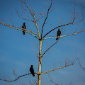 American Crows In Bare Tree by Lora J Wilson