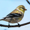 American Goldfinch In Spring by Edward Peterson