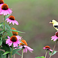 American Goldfinch On The Coneflowers by Trina Ansel