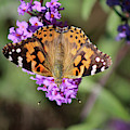 Painted Lady Butterfly Upside Down by Karen Adams