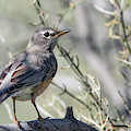 American Robin 5374-022619 by Tam Ryan