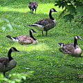 An Afternoon With Canada Geese by Karen Adams