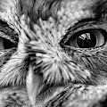 An Eye On You Screech Owl Black And White by JC Findley