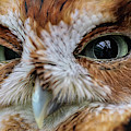 An Eye On You Screech Owl by Kyle Findley