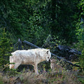 An Intimate Gray Wolv Moment Northwest Territories Canada by Dave Welling