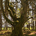 ancient tree in forest near Greenlawin Scottish Borders by Victor Lord Denovan