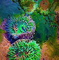 Anemone In Tide Pool by Dee Browning
