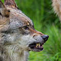 Angry Wolf by Arterra Picture Library