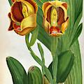 Anguloa Ruckerii Sanguine Lindenia Orchid by Jean Jules Linden