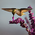 Anna's Hummingbird Sipping Nectar From Salvia Flower by Brian Tada