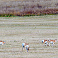 Antelope 2 by Jim Thompson