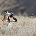 Antelope On The Prairie by Michael Chatt