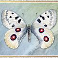 Apollo Butterfly by Amy Kirkpatrick
