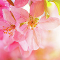 Apple Blossoms Bright Glow by Leland D Howard